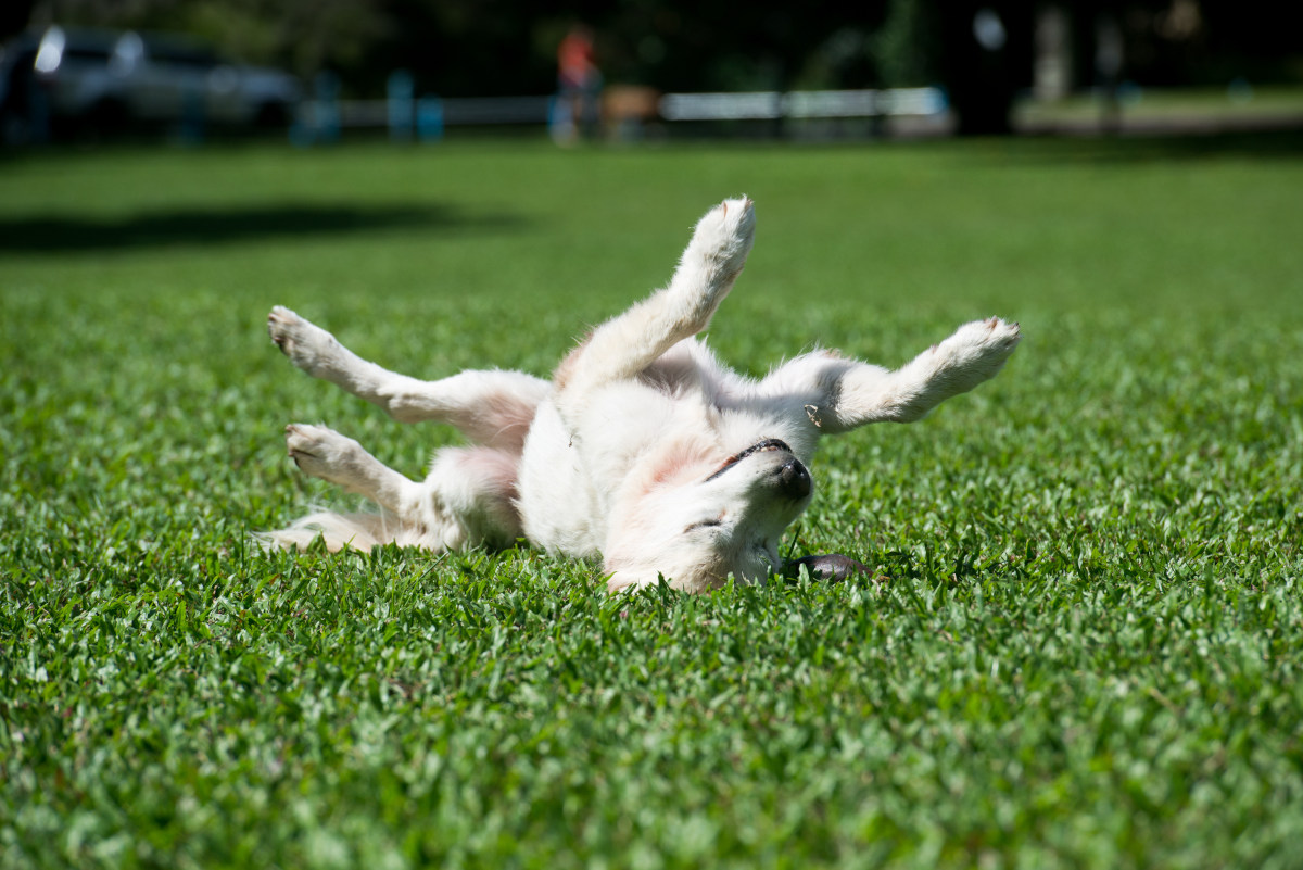 a picture of a dog relaxing on a turf lawn